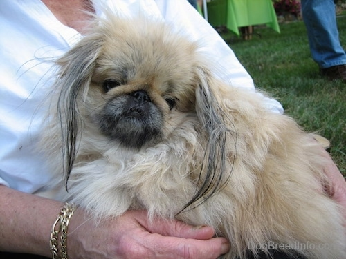 Close up - A small, fluffy, thick coated, tan with white and black Pekingese dog sitting in the lap of a lady in a white shirt. The dog has a pushed back face and long hair on its ears.