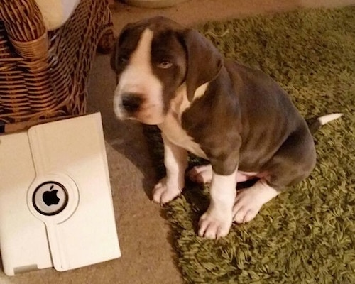 The front left side of a gray and white Taylors Bulldane puppy is sitting on a fuzzy green rug and it is turning its head. There is an Apple iPad in front of it. The dog has long soft looking drop ears and a black nose.