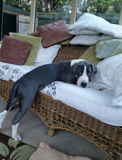 The back right side of a gray and white Taylors Bulldane puppy is laying on top and across a wicker chair that is in a sunroom.