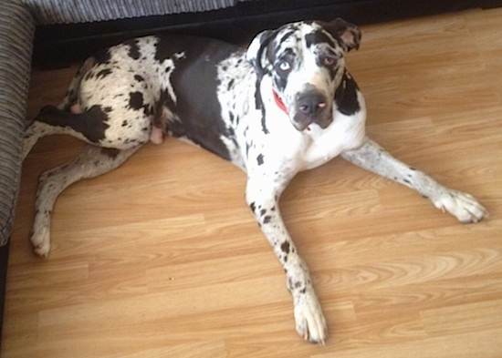 A blue-eyed harlequin Taylors Bulldane dog laying across a hardwood floor in front of a couch looking up.