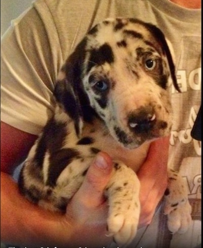 Close up - A blue-eyed harlequin Taylors Bulldane puppy is being held under the arm of a person. The puppy is looking down and to the left.