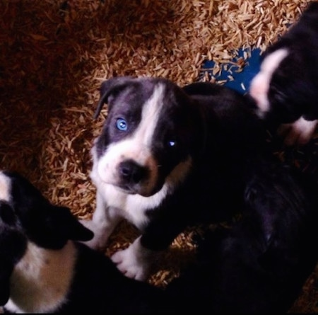 Top down view of a blue-eyed black and white Taylors Bulldane puppy that is sitting on a surface with wood chips over it. There are other puppies around it.