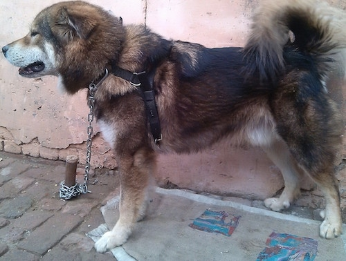 Left Profile - A large breed, thick coated, black, brown and white Tibetan Mastiff that is standing across a sidewalk. The dog's tail is curled up over its back and it has small fold over triangular ears. The dog is wearing a black harness.