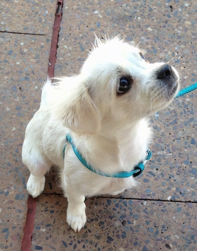A small white dog wearing a teal-blue harness looking up sitting outside on a sidewalk. It has a black nose and dark eyes.