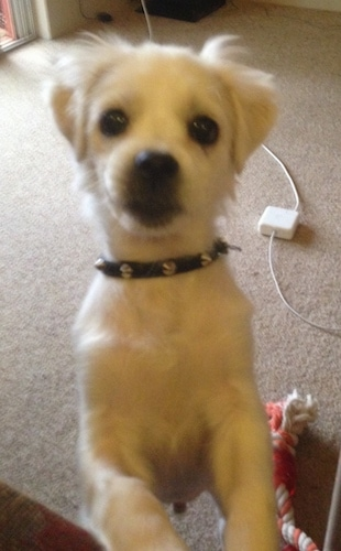 A small white dog with short hair wearing a black spike collar jumped up in front of the person taking the picture. There is a Mac laptop charger across the floor and a dog rope toy behind the dog.