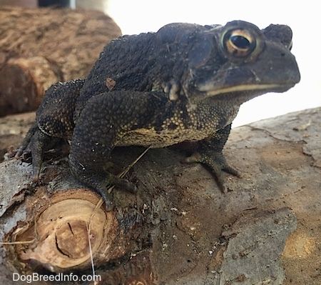 Close Up - Toad sitting on a log with mor logs in the background