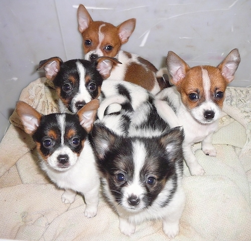 A litter of 5 Toy Foxillon puppies are sitting on a blanket in a large plastic box and they are looking up. Four of the pups have perk ears, one has ears that fold over. One has longer hair than the others. Two are tan and white, two are tricolor tan, black and white and one is black and white.