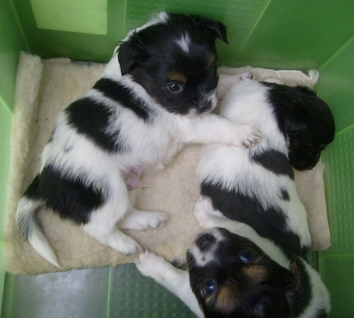 Top down view of three little young puppies that are laying in a green plastic box. Two are black and white and one is black, white and tan.