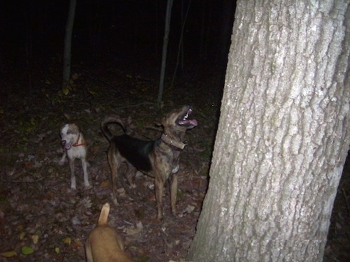 Three Cur Dogs are outside at night under a tree. The furthest right dog is looking up the tree. The Middle dog is walking out of the image. The left most dog is in the middle of a bark