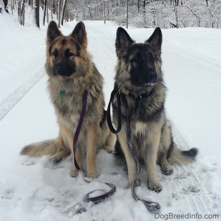 Two dogs are sitting in the snow, they are wearing leashes and they are lookign forward.