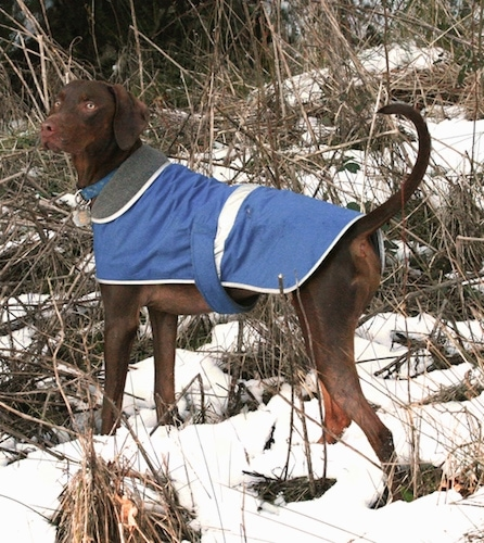 The back left side of a tall, brown Vizmaraner dog wearing a blue jacket standing in snow looking to the left. The dog has yellow eyes, a brown nose and a long tail that it is holding up in the air.