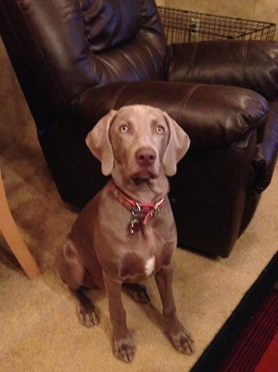 Front view - A Weimaraner dog is sitting on a tan carpet next to a dark brown leather recliner and it is looking up. The dog has a liver brown nose and silver eyes.