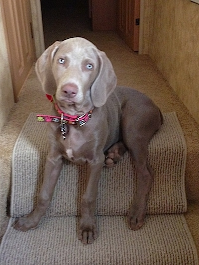 Soft Top Jeep >> Weimaraner Dog Breed Pictures, 1