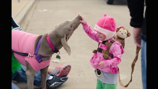 A Weimaraner is wearing a pink jacket and it is licking the hand of a toddler who is wearing a pink hat and jacket and a monkey back pack. The child has her hand in front of the dogs mouth and the dog is licking her. The dog is also wearing a pink jacket.