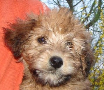 Whoodle Dog Breed Information And Pictures Wheaten