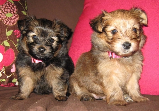 Two Yoranian puppies are sitting across a couch and they are looking forward. one puppy is tan and the other is black adn tan. Both pups have small fold over ears and hot pink collars.