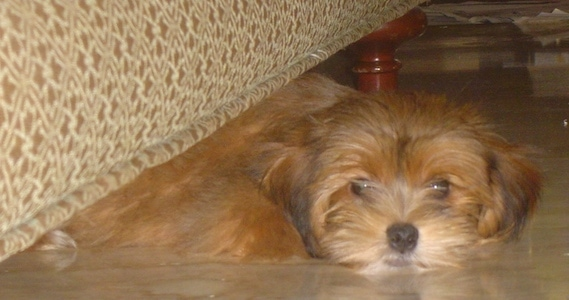 A fluffy, soft looking, brown Yorkie Apso puppy is laying down under a couch.