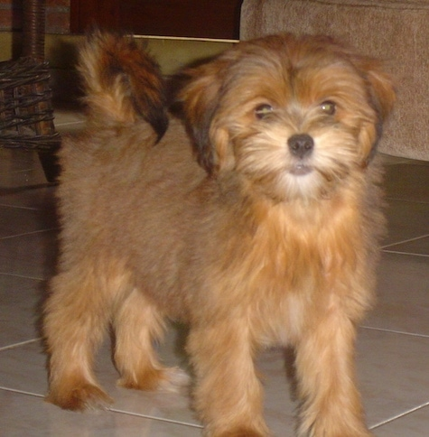 A thick coated, soft looking, brown Yorkie Apso puppy standing across a tan tiled floor looking forward. It has a black nose and round dark eyes with ears that hang down to the sides. Its tail is curled up over its back.