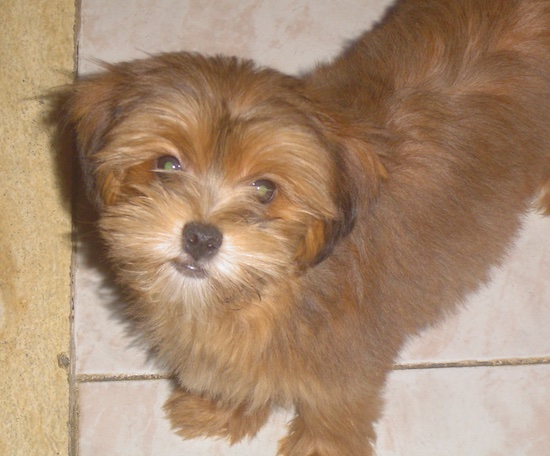 Top down view of a brown Yorkie Apso puppy that is standing across a tiled floor and it is looking up. It has a black nose and wide round eyes.