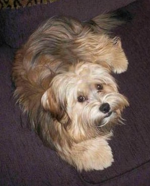 Yorkie-Apso Dog Breed Information and Pictures