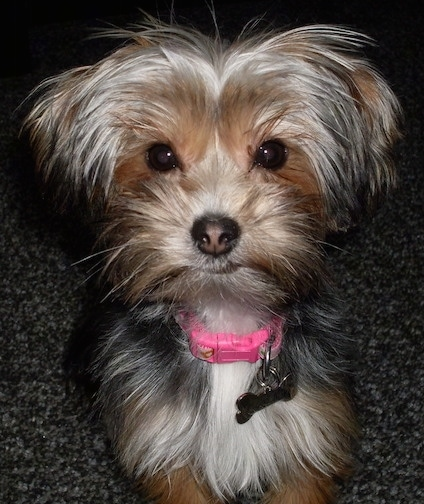 Close up - A black with brown and white Yorkie Apso puppy is laying across a carpeted floor. It has a long coat that looks soft with pink in the middle of its black nose. It is wearing a pink collar.