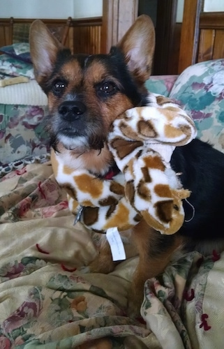 A black with brown and white Yorkie Russell dog sitting on a bed with bunched up sheets and it is looking forward. It has a snake plush toy wrapped around its neck.