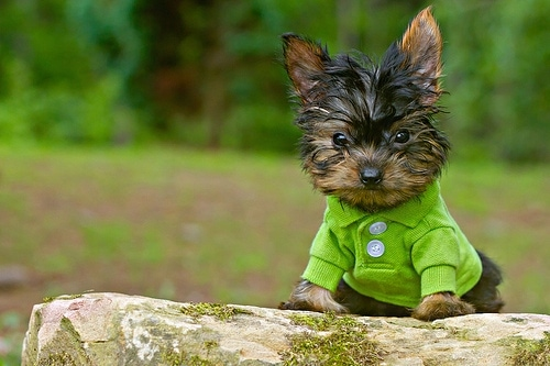 A tiny, toy-sized, black with brown Yorkshire Terrier dog sitting on a mossy rock wearing a lime green shirt looking forward. It has dark round eyes, a black nose and the long fur on its head looks wet.