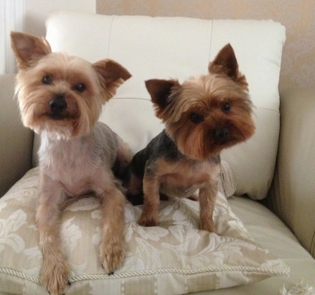 Two Yorkshire Terriers are sitting in an arm chair on top of a pillow. They are looking forward and there heads are tilted in different directions. Their bodies are shaved short with longer hair on their faces making their heads look square. They have small triangular perk ears, black noses and wide round dark eyes. The dog on the right is smaller than the dog on the left.