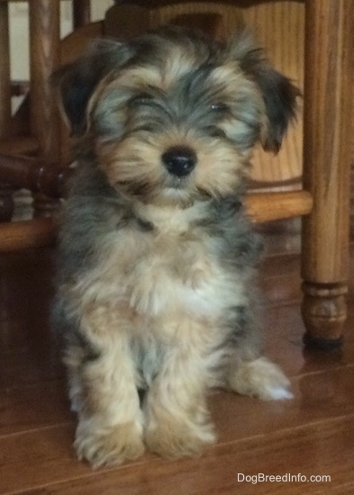 A small, soft looking, long coated, tan Yorktese puppy sitting under a wooden chair looking forward. It has a black nose and small ears that fold over to the sides.