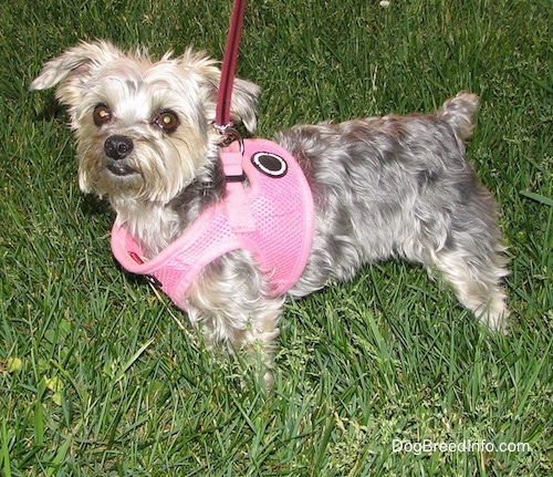 The left side of a shaved black with brown Yorktese that is wearing a pink harness and it is looking forward. It is standing in a field. It has a big black nose and wide round brown eyes with ears that stick out to the sides. Its tail is docked short.