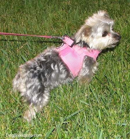 The back right side of a gray with cream Yorktese dog pulling on its leash in grass. It is wearing a pink harness.
