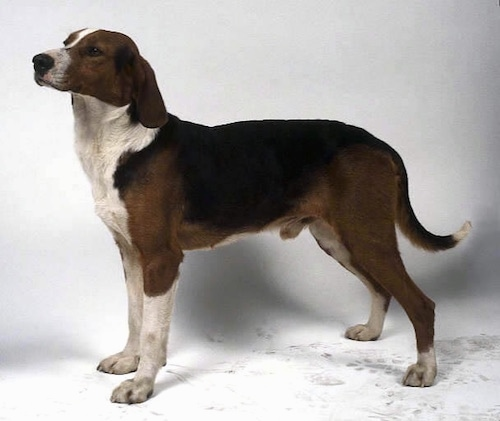 The left side of a tricolor black and brown with white Yugoslavian Hound dog that is standing on a white backdrop. The dog has long drop ears that hang down at the sides of its head.