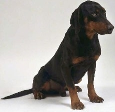 A black with brown Yugoslavian Hound is sitting on a white backdrop and it is looking to the right. It has a long snout with long drop black ears.