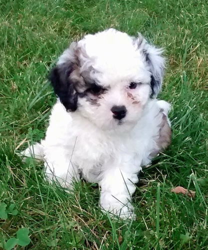 A small fluffy soft looking white with black and tan Zuchon puppy is sitting on a grass surface and it is looking to the right. Its ears hang down to the sides. One ear is black and the other ear is white.