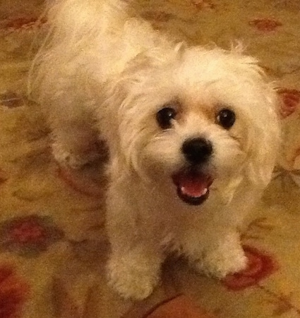 This is Cinnamon, she is a Bichon Frise / Shih-Tzu cross (Zuchon, commonly called a Shichon)