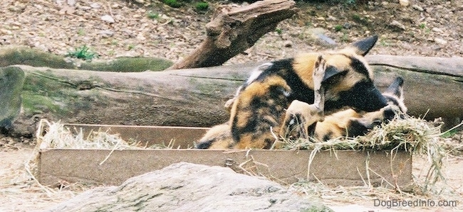 A colorful orange, black and white patched wild dog with perk ears sitting in a wooden box outside that is lined with hay scratching its head with its back leg. It is sitting next to a laying wild dog.