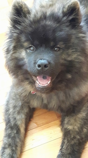 A thick coated, fluffy black and tan brindle dog with small perk ears, almond shaped brown eyes, a black nose and a smile on its face. It has a black spot on its tongue. It looks like a teddy bear.