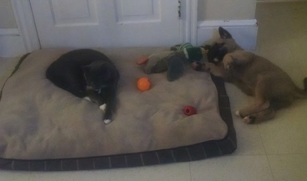 A cat laying on a dog bed next to dog toys with a tan and black puppy the same size as the cat laying on the tiled floor next to the dog bed belly-up looking playful.