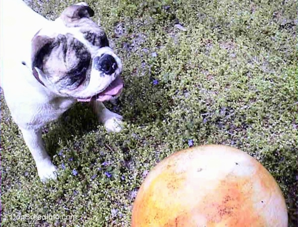 Spike the Bulldog is standing in a field in front of an orange ball that is almost as big as he is