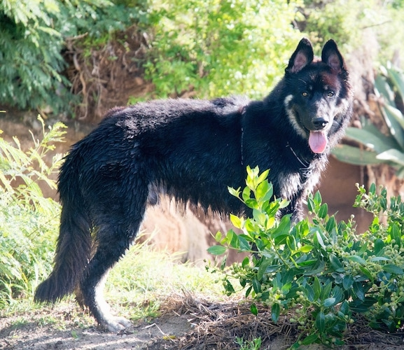 Side view - A large longhaired black and tan shepherd dog standing outside in the woods with its lower half all wet and its tongue hanging out.