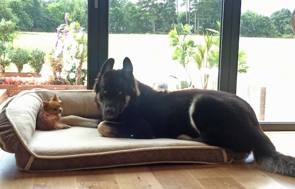 A large black and tan shepherd dog laying on a dog bed next to a tiny Chihuahua on a hardwood floor in front of a sliding glass door.