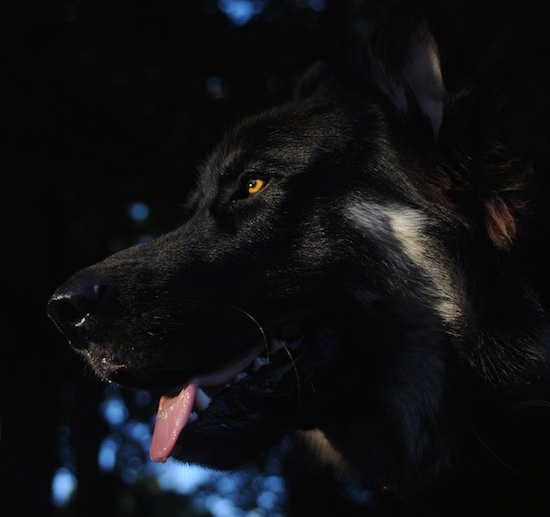 Close up - The underside of the face of a black with tan American Alsatian that has its mouth open, its tongue out and it is looking to the left.