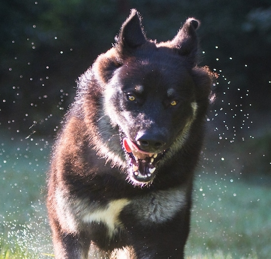 Close up action shot of a black and tan shepherd dog running through water with its tongue flapping off to the side and its golden brown eyes showing bright with splashing of water all over to the sides of it