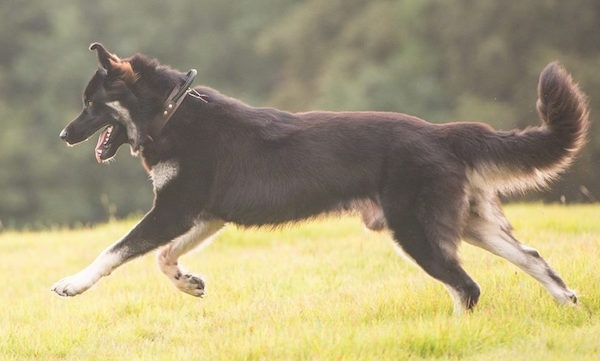 The left side of a black and tan American Alsatian that is running across grass.