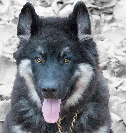 Close up - A black and tan American Alsatian with golden eyes is wearing a choke chain collar, its mouth is open, its tongue is out and it is looking forward.