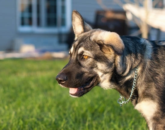 Side view head shot - a gray and tan shepherd puppy wearing a choke chain collar standing in front of a gray house out in a grassy yard. The dog has bright golden brown eyes. One of its ears is up and the other is flopped over to the side.