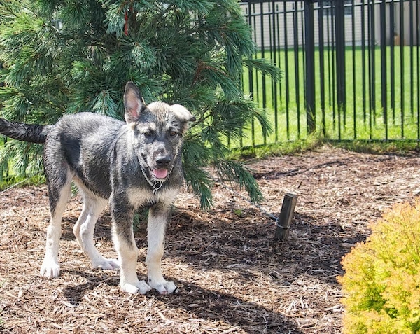 The front right side of a gray and tan American Alsatian puppy that is standing in front of a newly planted evergreen tree with a black iron fence behind it. One if its ears is up and the other is flopped over to the side.