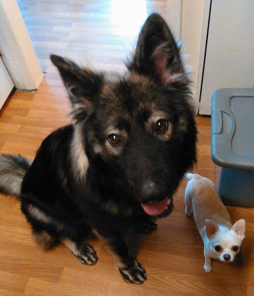 A black with tan shepherd type dog sitting on a hardwood floor next to a small white Chihuahua dog. Both dogs are looking up at the person taking the picture.