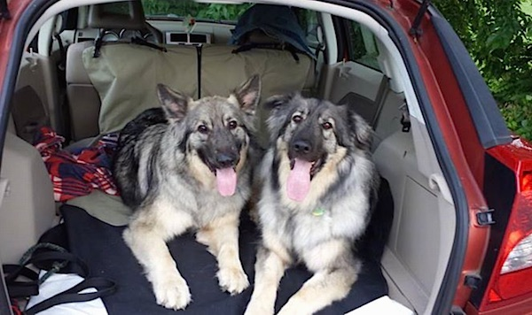 Two large American Alsatians are laying in the back hatch of a red SUV, they are looking forward, there mouths are open and there tongues are out.