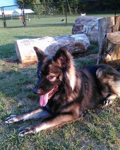 The front left side of a black and tan American Alsatian that is laying in front of large thick logs. There is a chainlink fence behind it and behind the fence are two dogs playing.